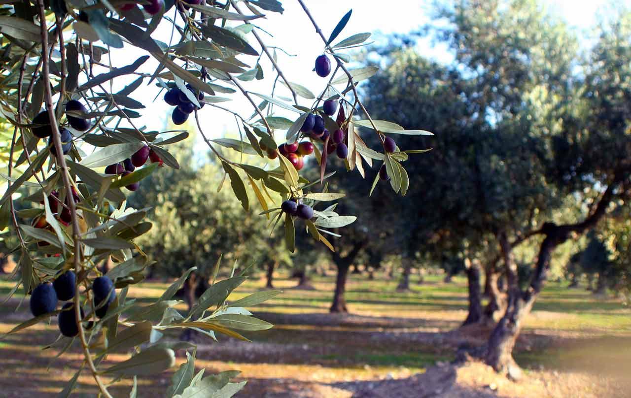 Olivos en Ablitas para la producción de aceite negrala y Empeltre
