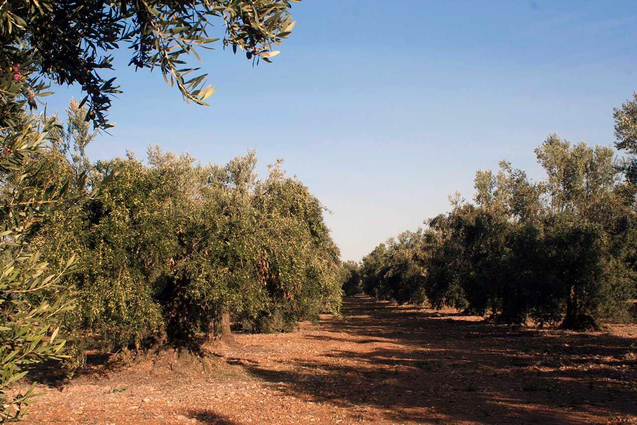 Olivos en Ablitas para la producción de aceite de oliva artesano en una cooperativa