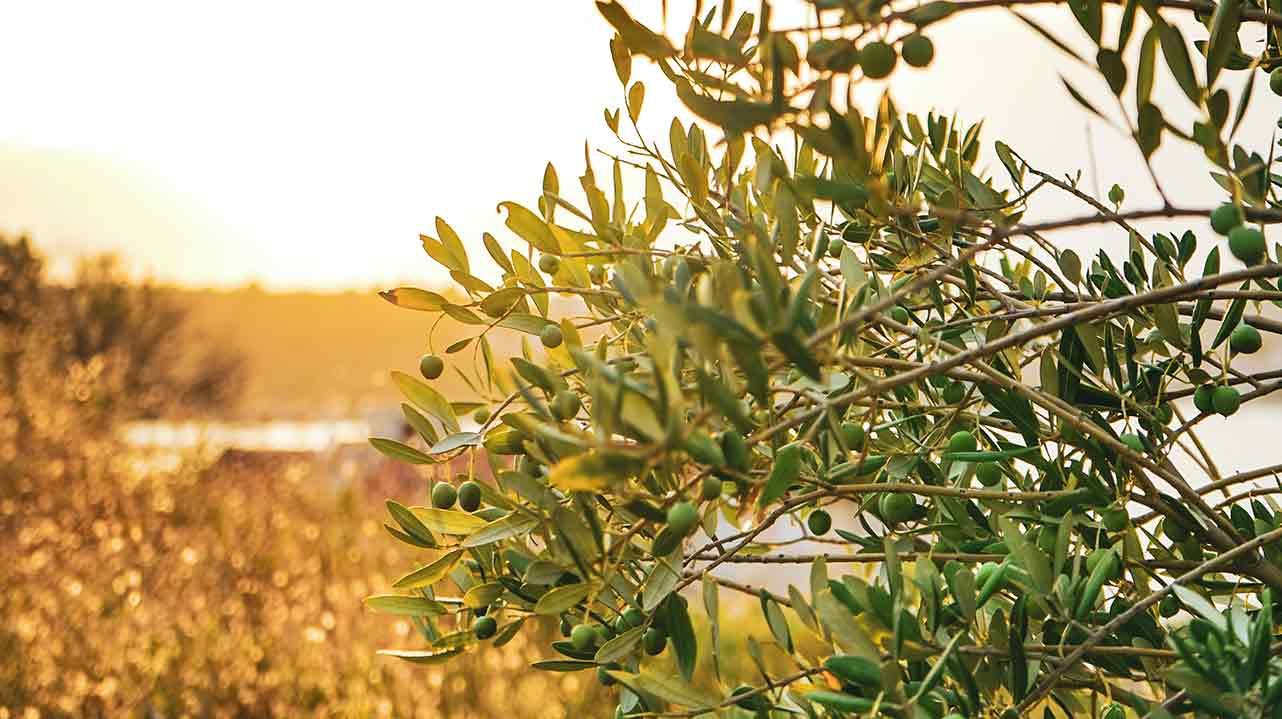 Olivo al atardecer para la producción de aceite de Oliva Virgen Extra artesano