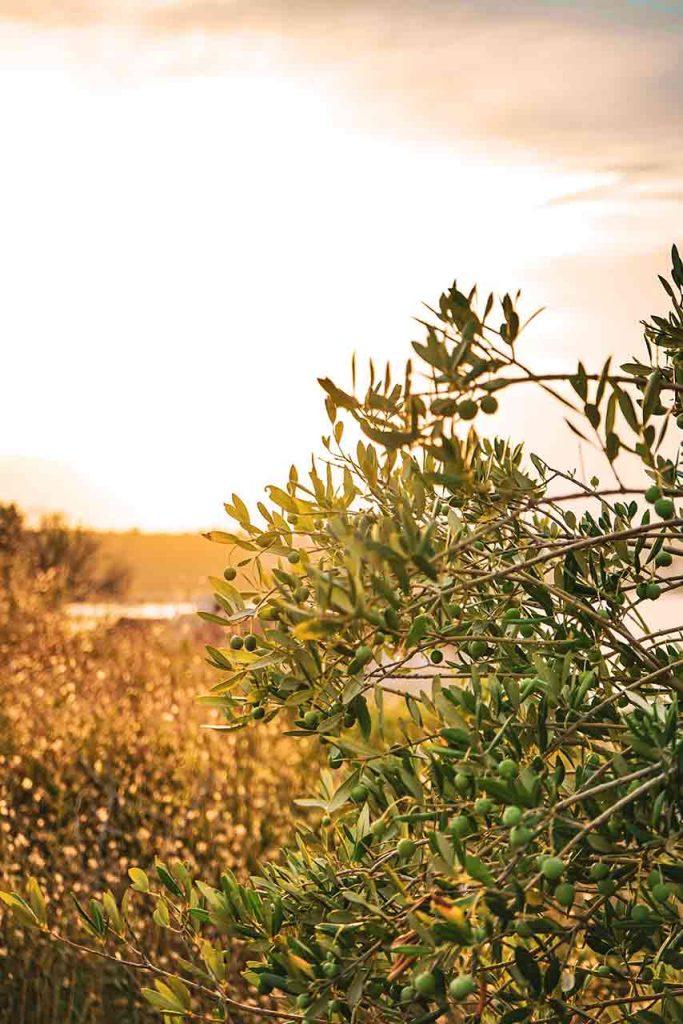 Olivos para la producción de aceite en la Ribera de Navarra para Castillo de Ablitas