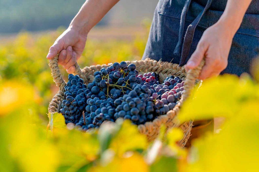Recogiendo uva garnacha tinta en unos viñedos para la producción de vino