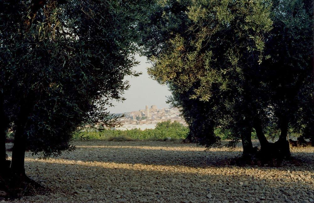 primer plano olivar y al fondo Ablitas