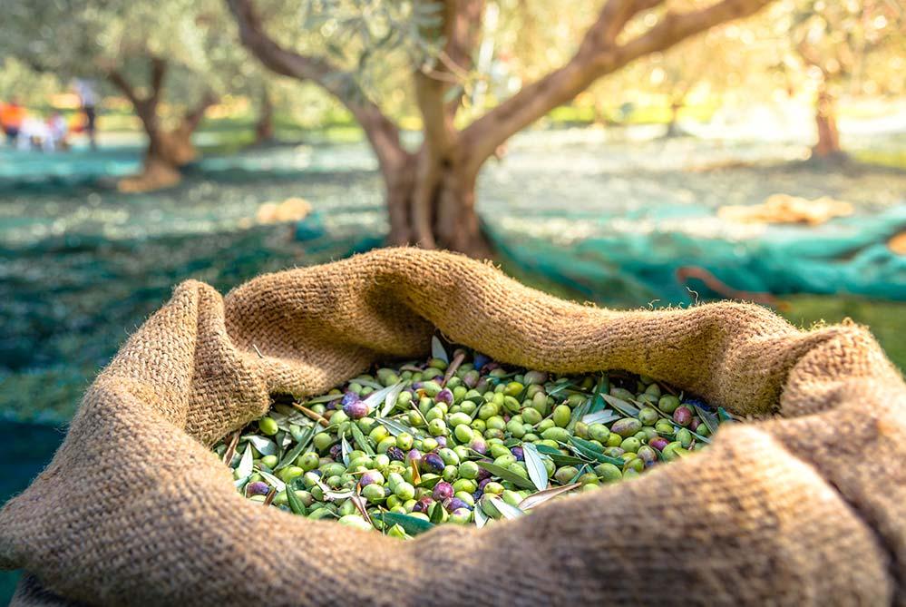 olivas recien cosechadas dentro de saco en olivar